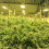 The Green Economy: 10 Exciting Jobs in the Cannabis Industry